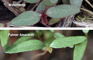 Cover photo for Herbicide Resistant Weed Updates