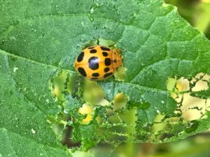 Image of a Squash Lady Beetle