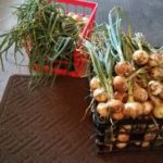 recently harvested green onions