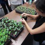 volunteers transplanting seedlings