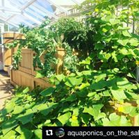 plants grown with aquaponics system