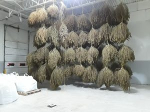 Image of hemp drying