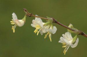 image of winter honey suckle bloom