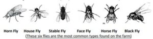 Horn flies chart image