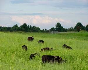 Cover photo for Advantages of Growing Summer Native Grass Pastures
