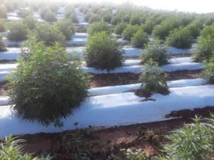 Image of hemp plants