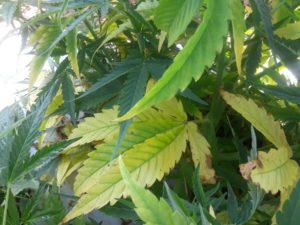 Image of hemp leaves
