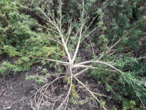 hemp branches