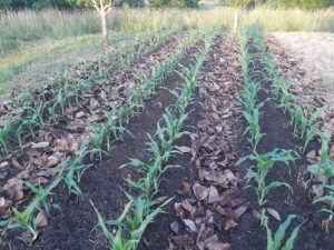 Give sweet corn the majority of its nitrogen when it gets to be knee high.