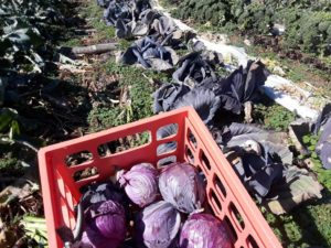 Ruby Red Cabbage Harvest